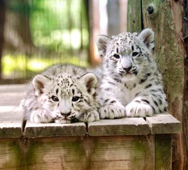 Snow Leopards at the Cape May County Zoo